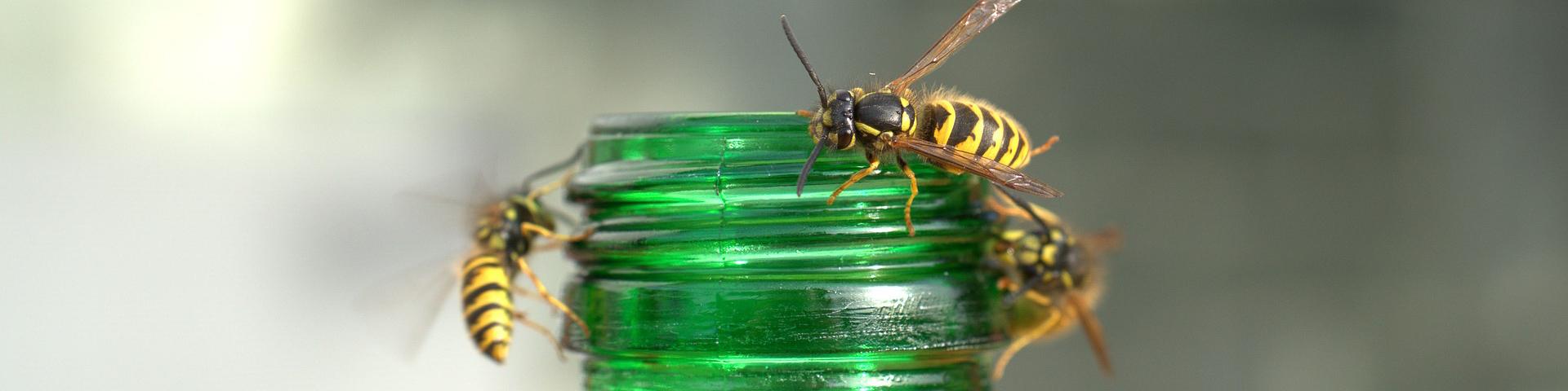 Wespen an einer offenen Flasche
