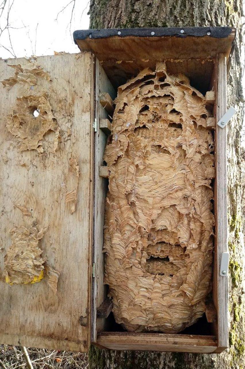 Hornissenkasten mit Nest